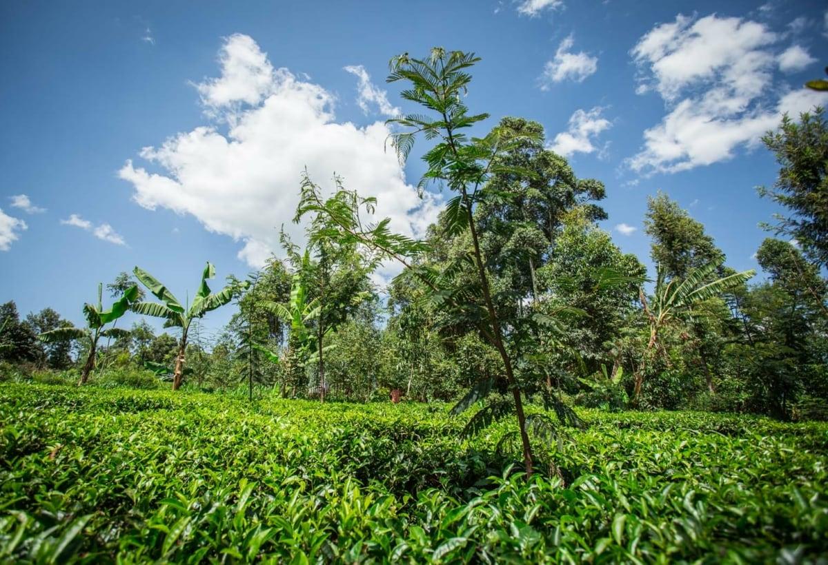 _Gli alberi di Treedom sono piantati in sistemi agroforestali che prevedono l'integrazione di alberi e colture stagionali come mais e legumi