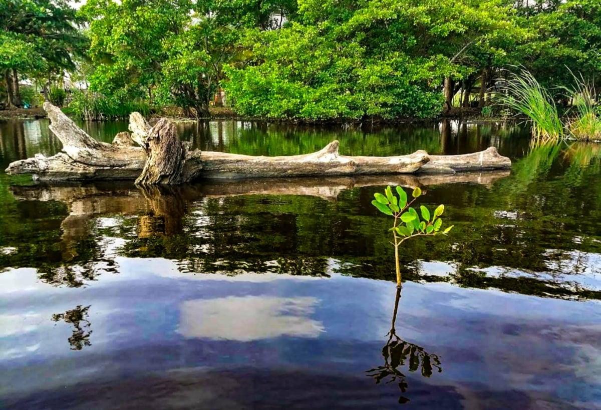 Honduras – Mangrovie – Gli alberi hanno funzione regolatrice anche nei confronti delle acque