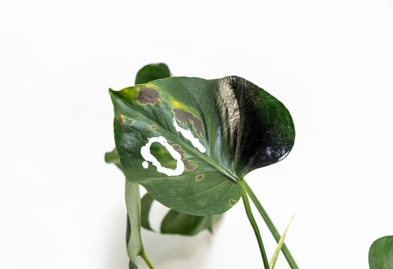 pianta IO